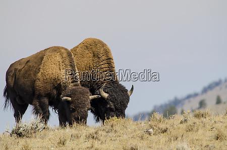 bison bison bison in lamar valley