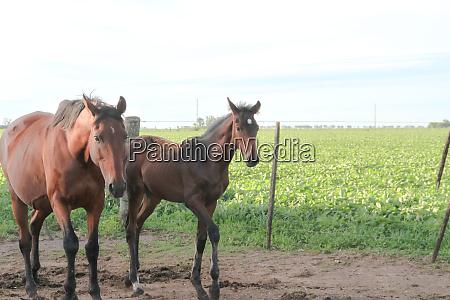 pferde in der argentinischen landschaft