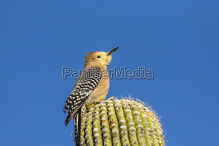 usa arizona sabino canyon gila woodpecker