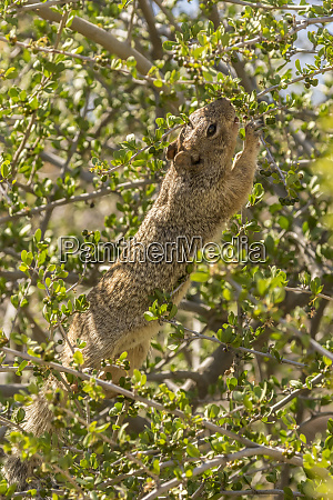 usa arizona sonoran desert rock squirrel