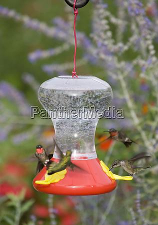 rubinkehlige kolibris archilochus colubris bei feeder