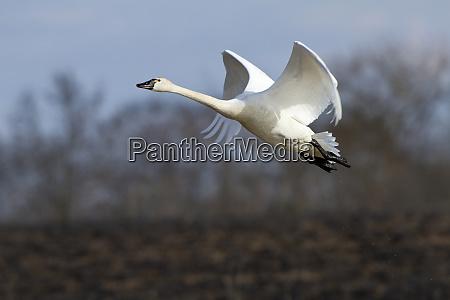 tundra swan cygnus columbianus im flug