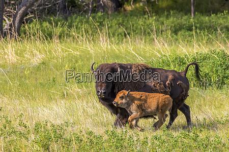 bison herd with calves in custer