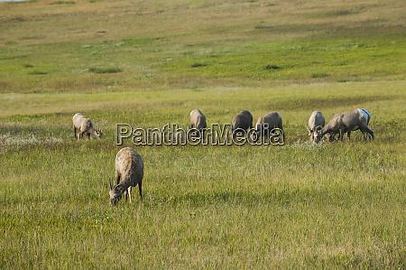 white tailed deer badlands national park