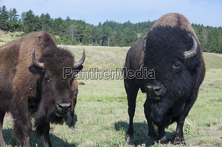 buffaloes south dakota usa