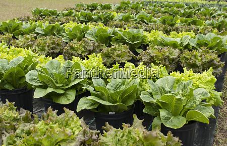 zentral florida bio garten mit salatpflanzen