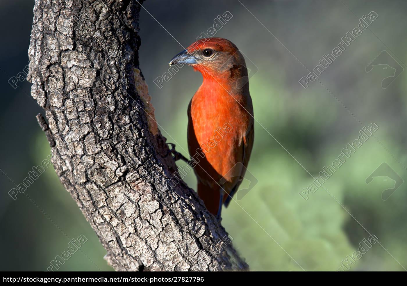 hepatischer, tanager, (piranga, flava), ein, mittelgroßer, amerikanischer - 27827796