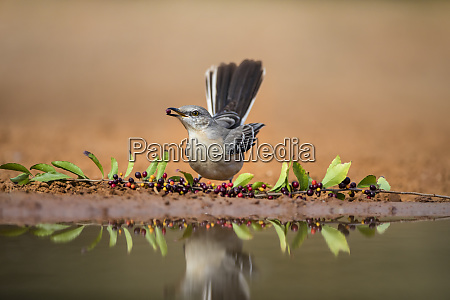 northern mockingbird mimus polyglottos feeding