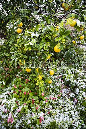snow on orange tree