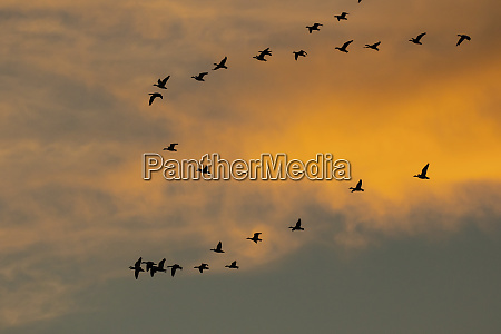 snow geese in formation at sunset
