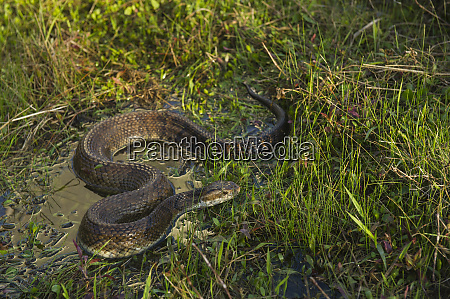 cottonmouth agkistrodon piscivorus or water moccasin