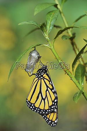 monarch danaus plexippus schmetterling der aus