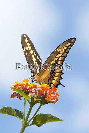 usa california anise swallowtail butterfly on