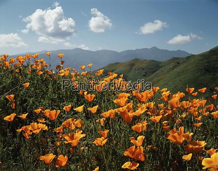 usa california lake elsinore california poppy
