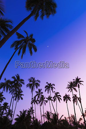 coconut palms and moon at puuhonua