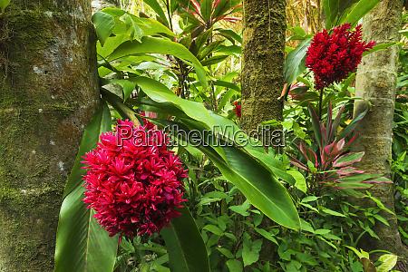tahitian ginger at hawaii tropical botanical