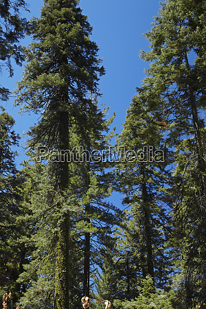 trees at tuolumne sequoia grove near