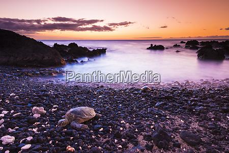 hawaiian green sea turtle on a
