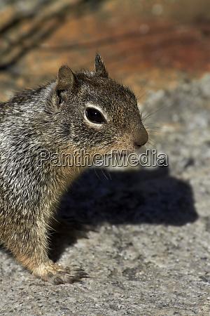kalifornisches, erdhörnchen, (otospermophilus, beecheyi), von, the, mist - 27841488