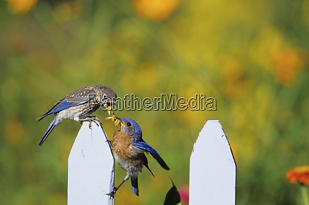 eastern bluebird sialia sialis male feeding