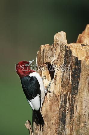 red headed woodpecker melanerpes erythrocephalus at