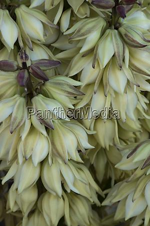 usa california detail of mojave yucca