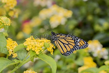 monarch danaus plexippus on lantana marion