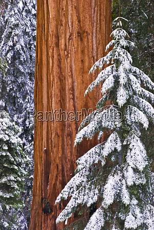 california giant sequoia sequoiadendron giganteum in