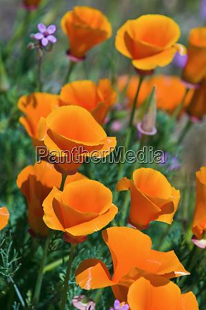 california poppies eschscholzia californica antelope valley