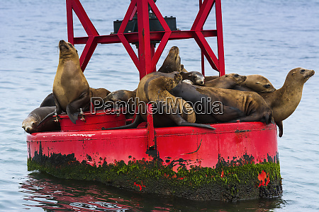 california sea lions on buoy ventura