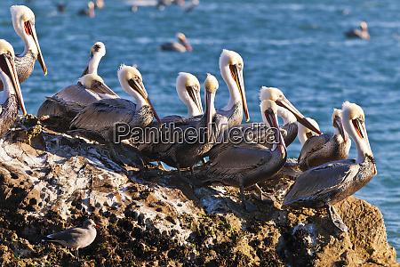 california brown pelicans pelecanus occidentalis avila