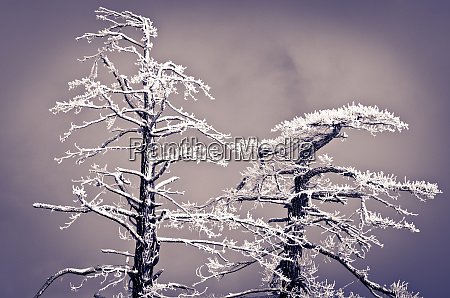rime ice on pine trees san