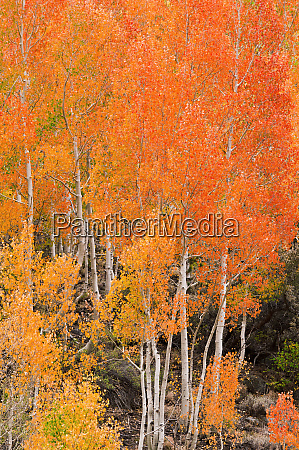fall color along bishop creek inyo