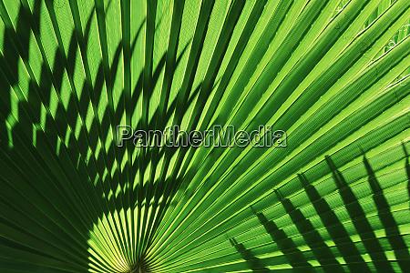 backlight on california fan palms anza
