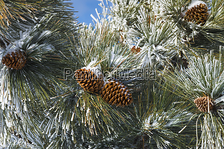 snow on pine cones san bernardino