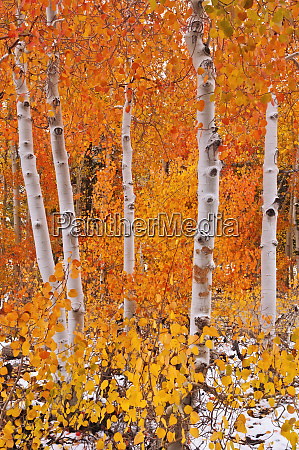 fresh snow on fall aspens along