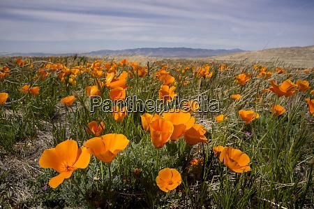 california poppies in bloom lancaster california