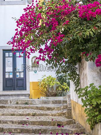portugal obidos beautiful bougainvillea blooming in
