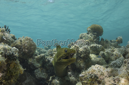 green moray gymnothorax funebris lighthouse reef