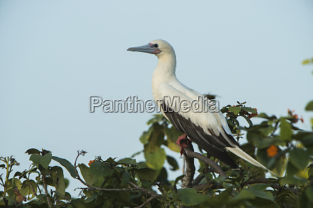 red footed booby sula sula white