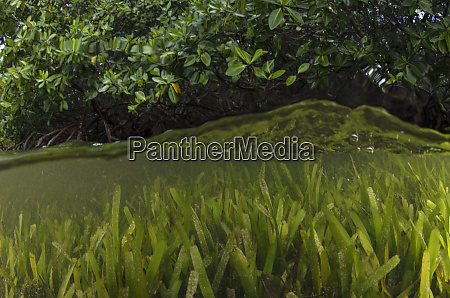 red mangrove rhizophora mangle and turtle