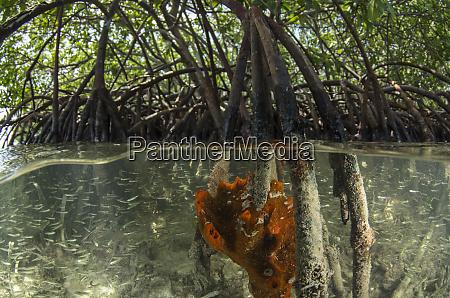 orange, sieve, verkrustenden, schwamm, (diplastrella), auf - 27861438