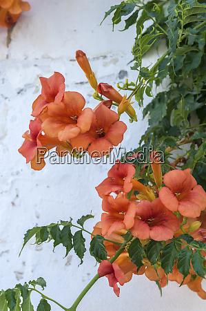 europe portugal obidos orange trumpet creeper