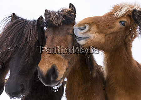 icelandic horse with typical winter coat