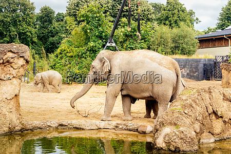 erwachsener und junger asiatischer elefant zu