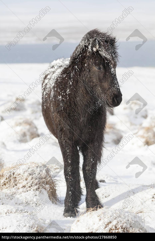 islandpferd, mit, typischem, wintermantel., die, traditionelle - 27868850
