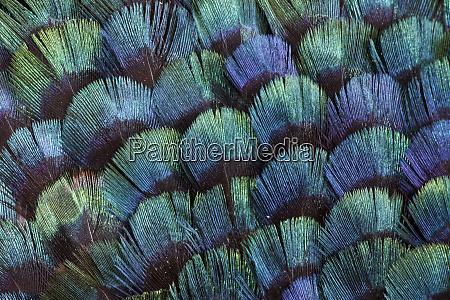 pheasant body feather fan design