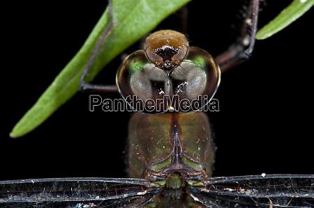 dragonfly gynacantha membranalis aeshnidae yasuni national