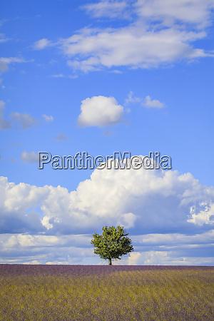 france provence valensole plateau field of
