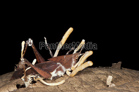 cordyceps fungus cordycepsattacking grasshopper orthoptera yasuni